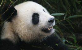 Албино панда прв пат снимена во природата (ВИДЕО)