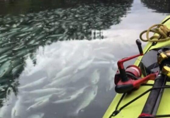 Поради топлото време, помор на лососи на Аљаска (ВИДЕО)