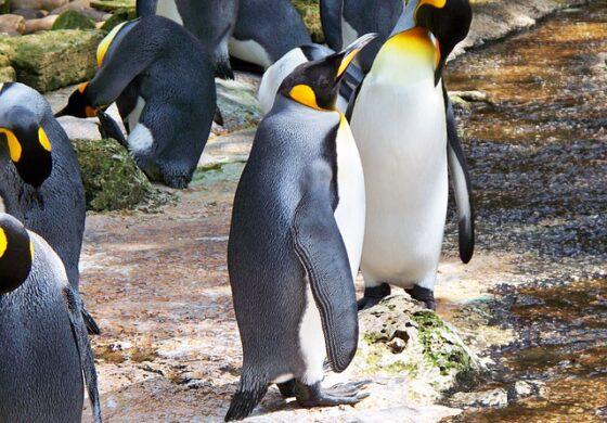 На Нов Зеланд откриени остатоци од џиновски пингвин со големина на човек.