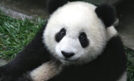 Најстарата панда во светот го прослави 37. роденден