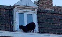 Мистериозен црн пантер се прошета на кров од зграда во Франција (ФОТО)