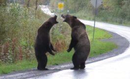 Три милиони прегледи за еден ден: Борба на мечки поради женка (ВИДЕО)
