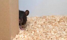 ВЕРУВАЛЕ ИЛИ НЕ: Научници научија стаорци да играат криенка (ВИДЕО)