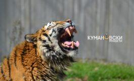 Спречен обид за криумчарење тигар од 240 килограми во Виетнам