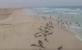 МИСТЕРИЈА И ЗА НАУЧНИЦИТЕ: Над 130 делфини се насукаа на плажа, а потоа и 26 китови (ВИДЕО)