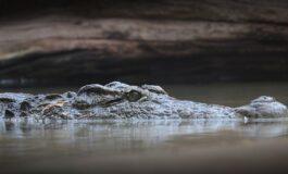 Научниците открија нов вид крокодил: Прекумерно се ловени поради својата кожа