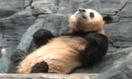И на животните им е тешко на високи температури, еве како се снајде оваа панда (ВИДЕО)