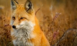 Интересни факти за лисиците кои не сте ги знаеле