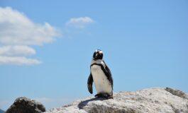 Пингвин секоја година плива 8.000 километри за да го посети својот спасител (ВИДЕО)