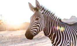 Германската полиција уби зебра која предизвика сообраќајка (ФОТО)