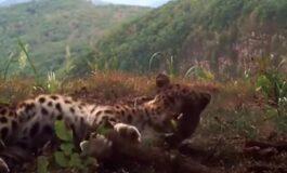 Снимен најреткиот вид на дива мачка: Еве како изгледа (ВИДЕО)