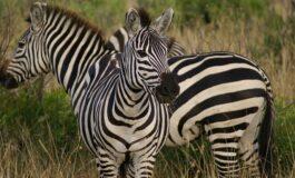 Зошто зебрите имаат пруги по телото?