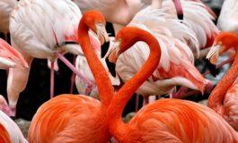 Зошто фламингата стојат на една нога?