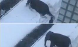 Слонови избегаа од циркус за да си играат во снегот (ВИДЕО)