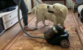 Ова куче не може да одолее на правосмукалката (ВИДЕО)
