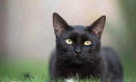 Зошто се верува дека црните мачки носат несреќа?
