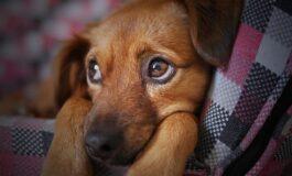 Зошто кучињата никогаш не смеат да јадат чоколадо?